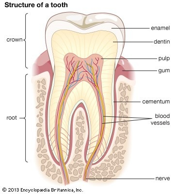 The inside view of a tooth and the root